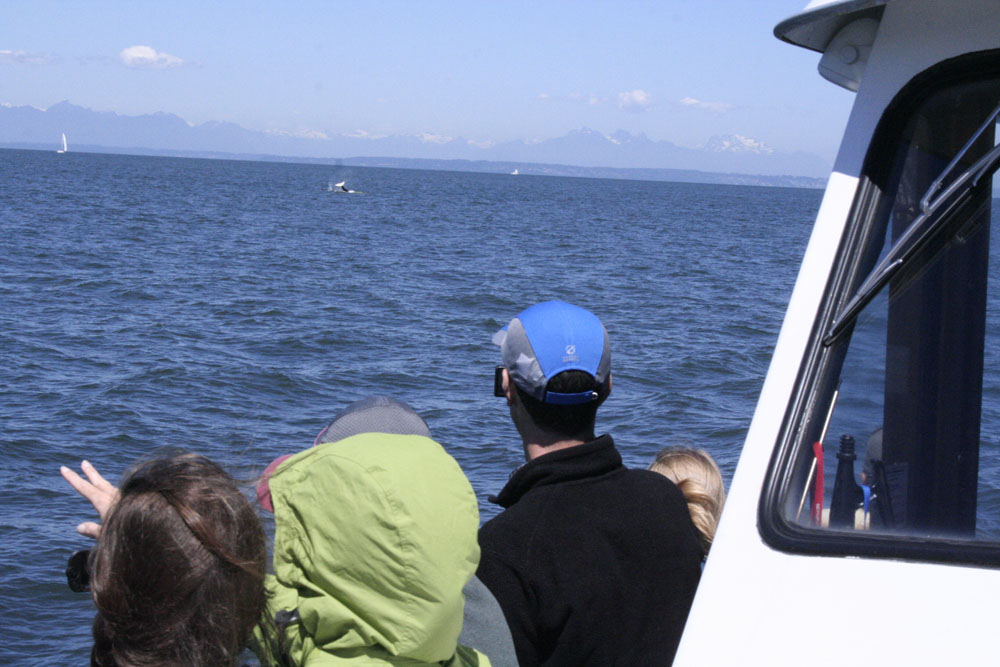 In the distance, one of the Orcas giving a little tail slap!